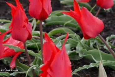 Artikelfoto: Erzählerin im Tulpenfieber - Auf in die Geschichten der Tulpe!