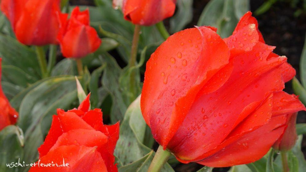 zentralasiatische-tulpe